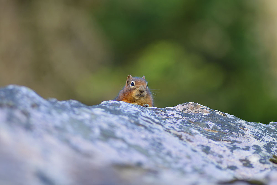 Munk on the rocks | NIKON 180MM F/2.8D ED-IF AF <br> Click image for more details, Click <b>X</b> on top right of image to close