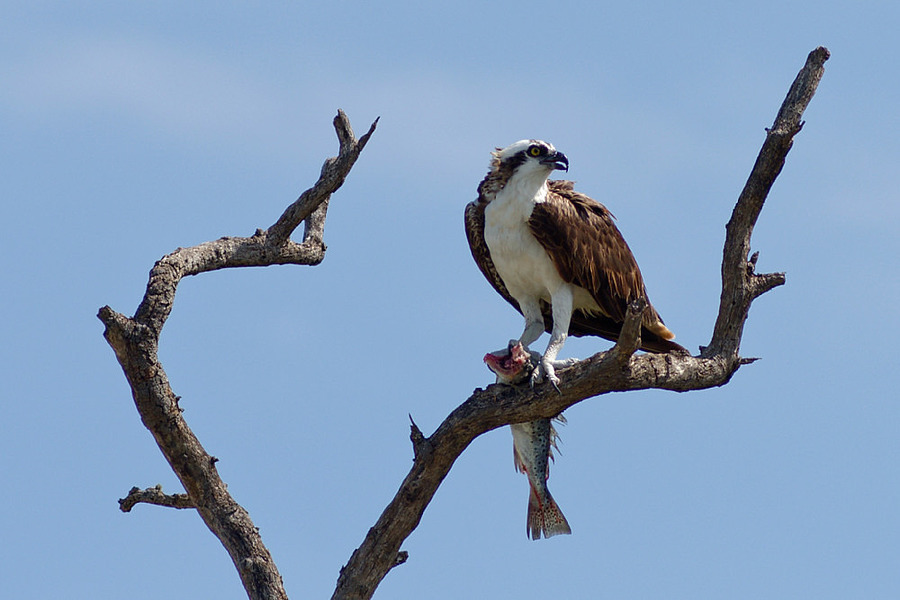 Osprey | NIKON 180MM F/2.8D ED-IF AF <br> Click image for more details, Click <b>X</b> on top right of image to close