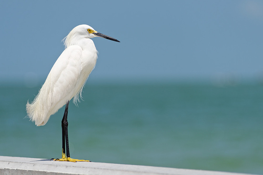 Snowy egret | NIKON 180MM F/2.8D ED-IF AF <br> Click image for more details, Click <b>X</b> on top right of image to close