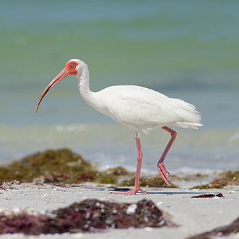 White ibis | NIKON 180MM F/2.8D ED-IF AF <br> Click image for more details, Click <b>X</b> on top right of image to close