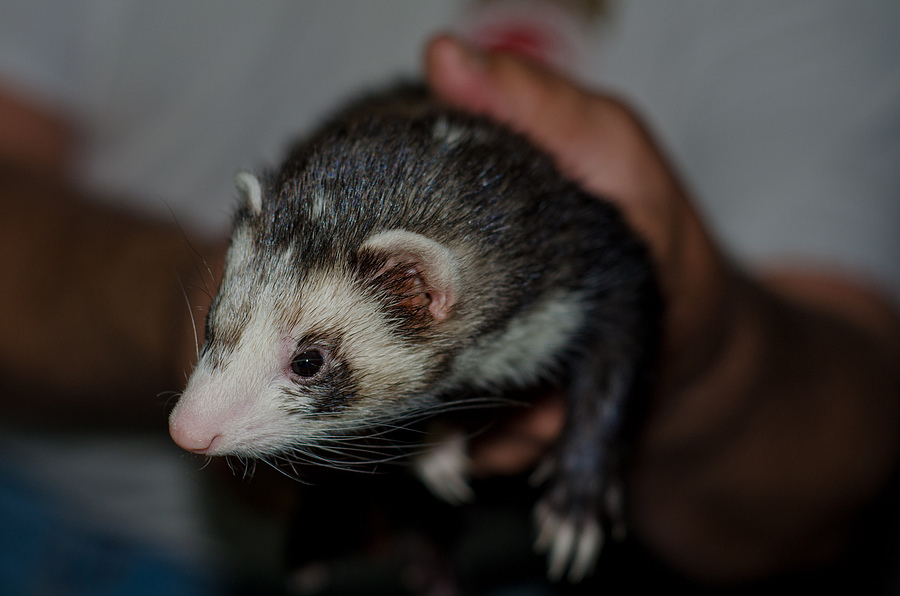 Ferret1 | NIKON 50MM F/1.8D AF <br> Click image for more details, Click <b>X</b> on top right of image to close