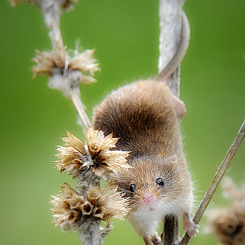 Harvest Mouse | TAMRON AF 28-300MM F3.5-6.3 XR <br> Click image for more details, Click <b>X</b> on top right of image to close