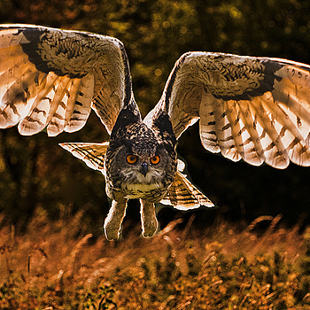 Eagle Owl | NIKON 70-200MM F/2.8G ED-IF AF-S VR <br> Click image for more details, Click <b>X</b> on top right of image to close