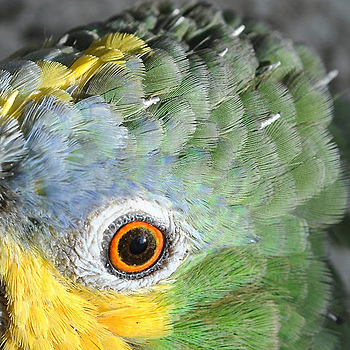 Amazon Parrot | NIKON 18-55MM F/3.5-5.6G ED AF-S II DX <br> Click image for more details, Click <b>X</b> on top right of image to close