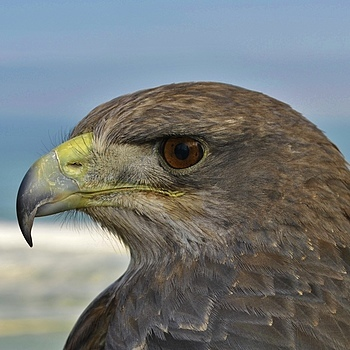 Chilli my Chilean Blue Eagle | NIKON 18-55MM F/3.5-5.6G ED AF-S II DX <br> Click image for more details, Click <b>X</b> on top right of image to close