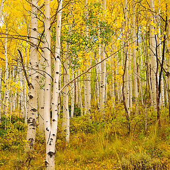 Colorado Aspens | LENS MODEL NOT SET <br> Click image for more details, Click <b>X</b> on top right of image to close