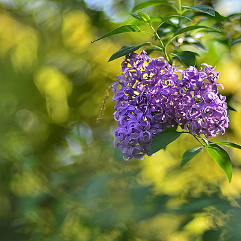 Flowering Shrub | NIKON 50MM F/1.4D AF <br> Click image for more details, Click <b>X</b> on top right of image to close