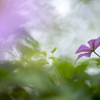 clematis | LENS MODEL NOT SET <br> Click image for more details, Click <b>X</b> on top right of image to close