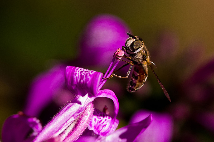 Hover fly | LENS MODEL NOT SET <br> Click image for more details, Click <b>X</b> on top right of image to close