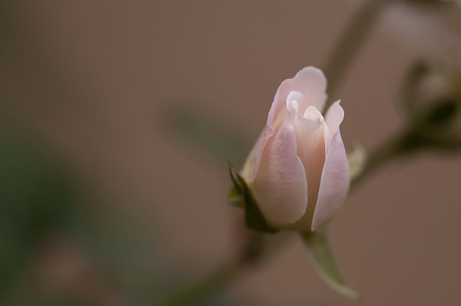 Rose Bud | NIKON 300MM F/4D ED-IF AF-S <br> Click image for more details, Click <b>X</b> on top right of image to close
