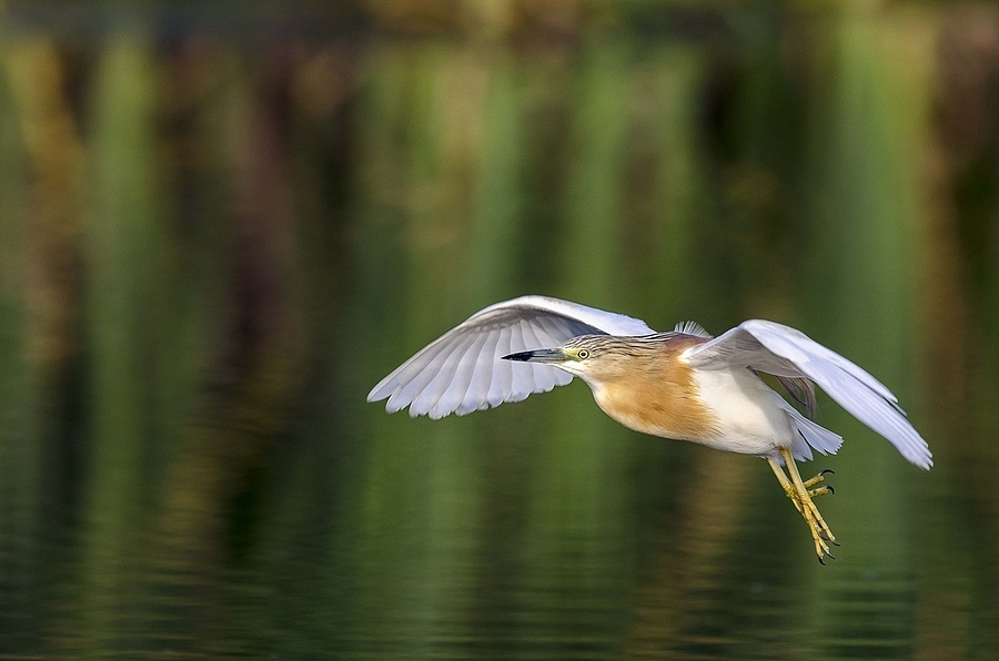 Squacco Heron | NIKON 400MM F/2.8D ED-IF AF-I <br> Click image for more details, Click <b>X</b> on top right of image to close