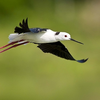 Black Winged Stilt | NIKON 400MM F/2.8D ED-IF AF-I