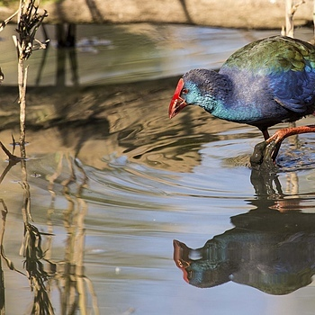 Purple swamphen | LENS MODEL NOT SET <br> Click image for more details, Click <b>X</b> on top right of image to close