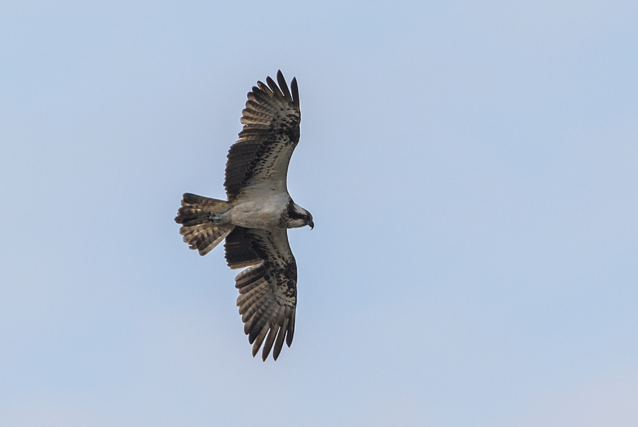 Osprey | NIKON 300MM F/2.8G ED-IF AF-S VR N <br> Click image for more details, Click <b>X</b> on top right of image to close