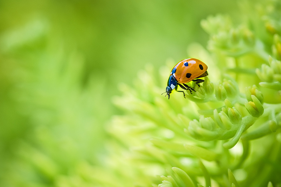 Ladybug | NIKON 105MM F/2.8G ED-IF AF-S VR MICRO N <br> Click image for more details, Click <b>X</b> on top right of image to close
