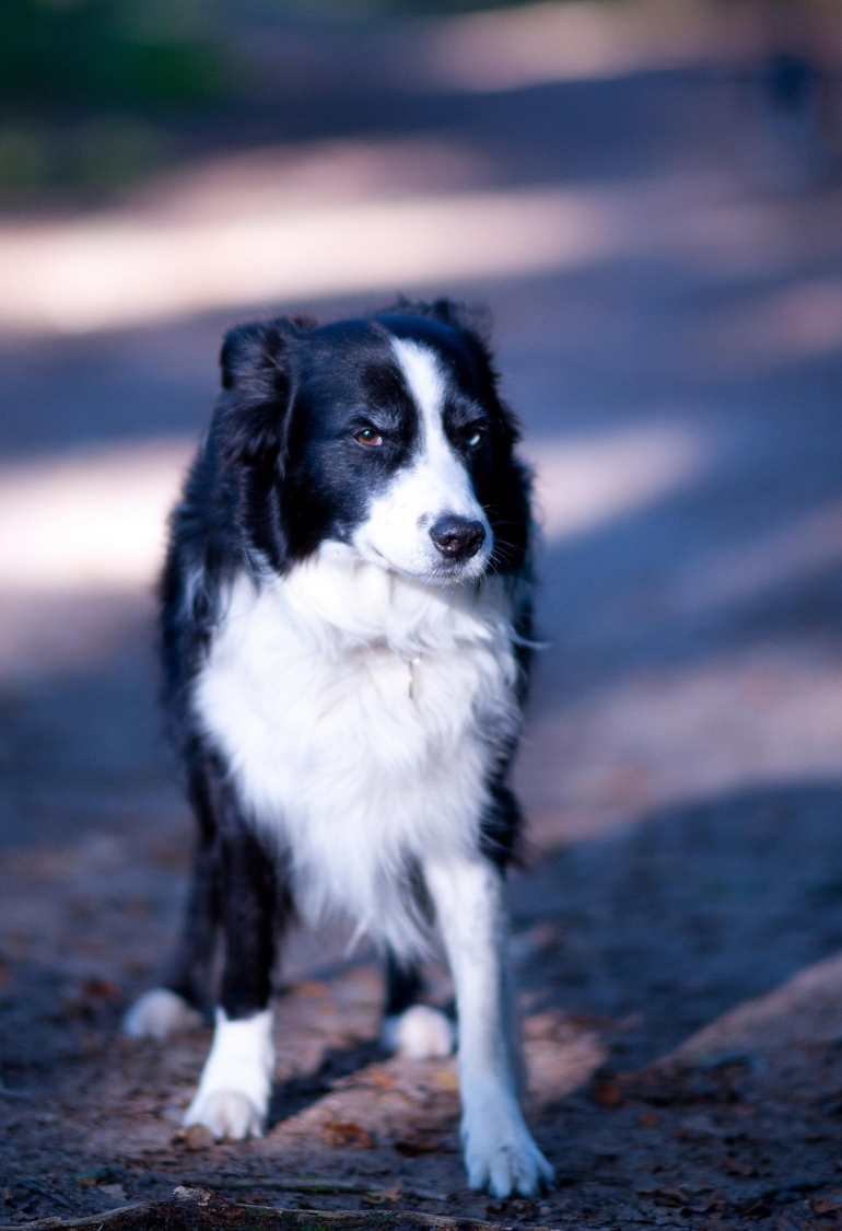 glenn a border collie | NIKON 135MM F/2.0 <br> Click image for more details, Click <b>X</b> on top right of image to close