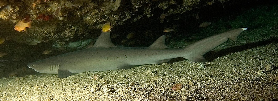 white tip reef shark phillipines | NIKON 12-24MM F/4G ED-IF AF-S DX <br> Click image for more details, Click <b>X</b> on top right of image to close