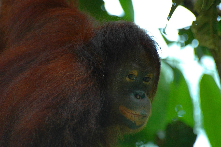 orang oetang borneo | NIKON 70-200MM F/2.8G ED-IF AF-S VR <br> Click image for more details, Click <b>X</b> on top right of image to close
