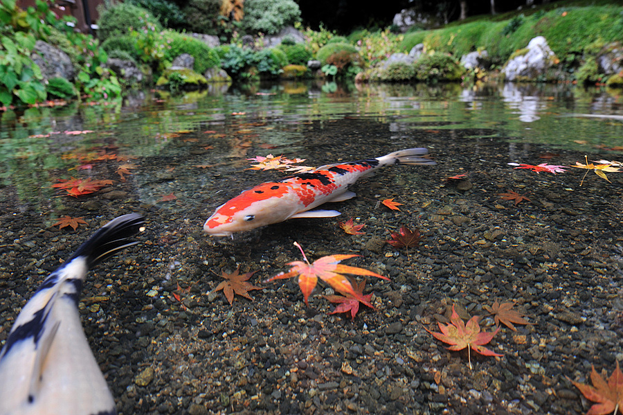 koi in ohara | NIKON 24MM F/1.4G ED AF-S <br> Click image for more details, Click <b>X</b> on top right of image to close