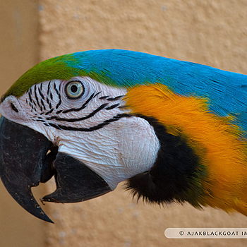 Parrot | NIKON 300MM F/4D ED-IF AF-S <br> Click image for more details, Click <b>X</b> on top right of image to close