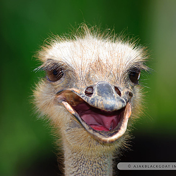 Head shot of an Ostrich | NIKON 300MM F/4D ED-IF AF-S <br> Click image for more details, Click <b>X</b> on top right of image to close