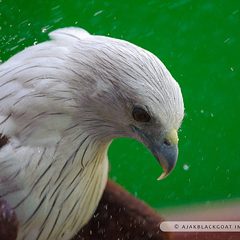 Brahminy Kite | NIKON 300MM F/4D ED-IF AF-S <br> Click image for more details, Click <b>X</b> on top right of image to close