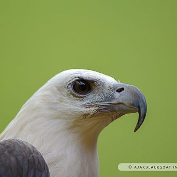 White Bellied Sea Eagle | NIKON 300MM F/4D ED-IF AF-S <br> Click image for more details, Click <b>X</b> on top right of image to close