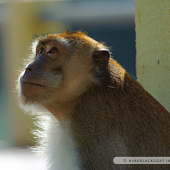 The monkey of Pulau Dayang Bunting | NIKON 300MM F/4D ED-IF AF-S <br> Click image for more details, Click <b>X</b> on top right of image to close