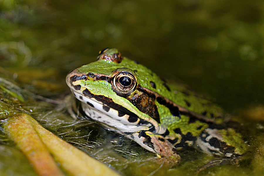 Green Frog | NIKON 55MM F/3.5 MICRO <br> Click image for more details, Click <b>X</b> on top right of image to close