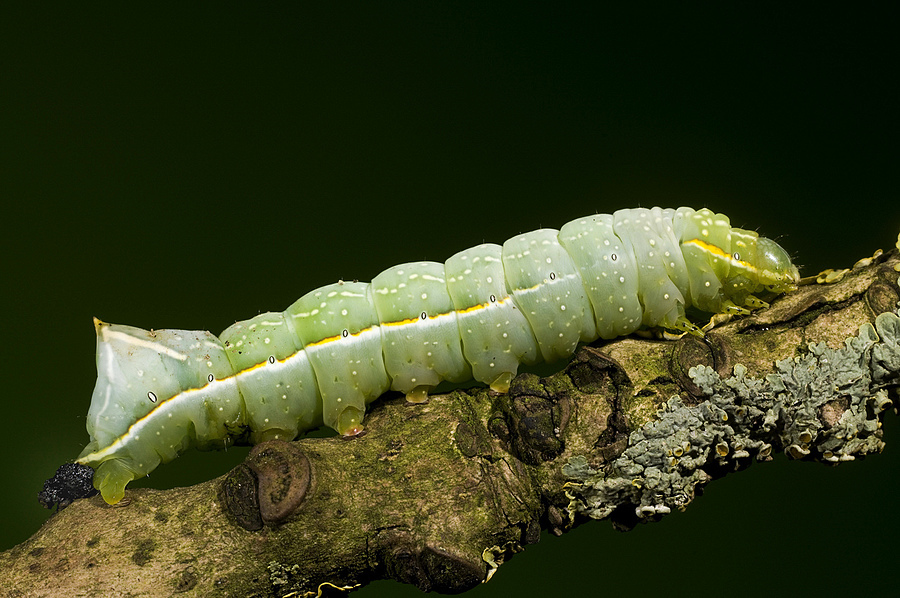 Catepillar | NIKON 55MM F/3.5 MICRO <br> Click image for more details, Click <b>X</b> on top right of image to close