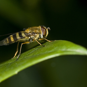 Hoverfly | SIGMA 150MM F/2.8 EX DG APO HSM MACRO <br> Click image for more details, Click <b>X</b> on top right of image to close