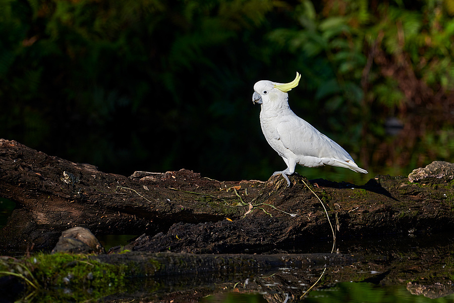 Cockatoo in the evening light | 400 MM F/2.8 <br> Click image for more details, Click <b>X</b> on top right of image to close