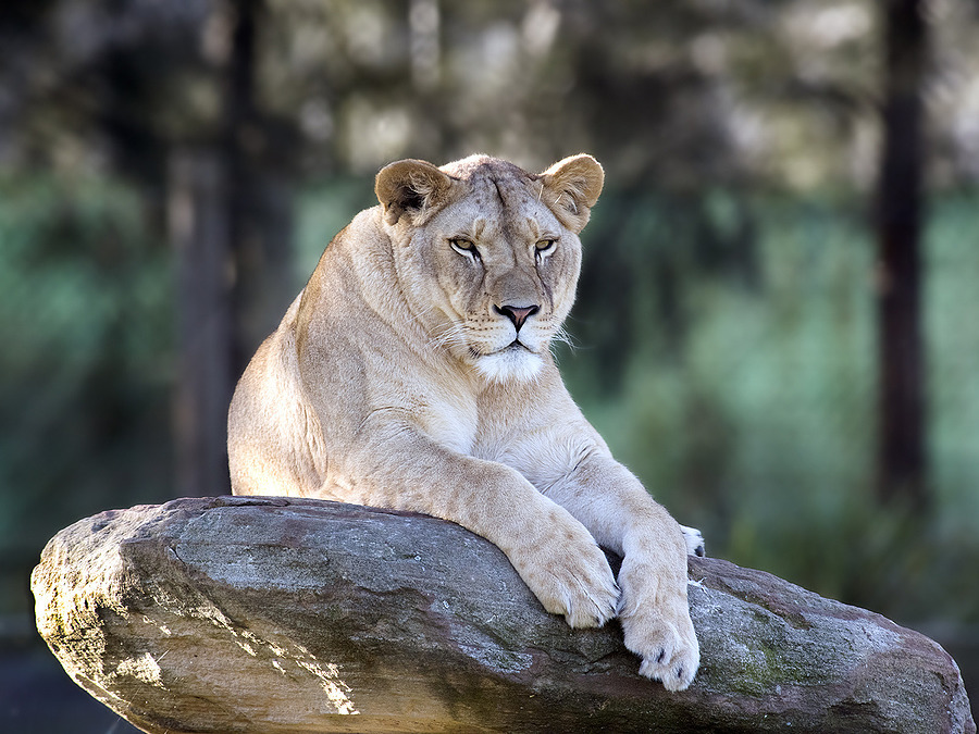 Lioness | NIKON 300MM F/2.8G ED-IF AF-S VR N <br> Click image for more details, Click <b>X</b> on top right of image to close
