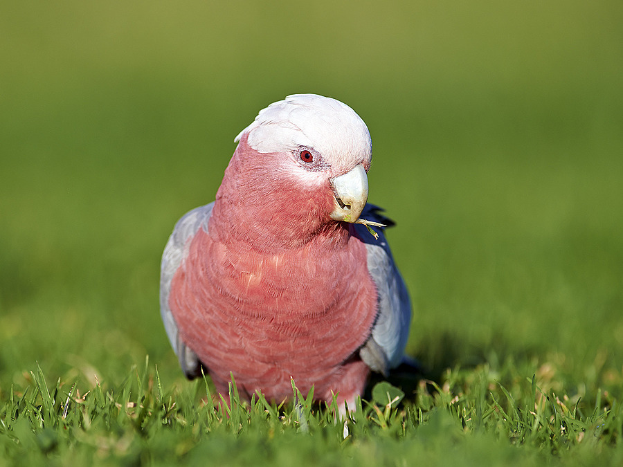 Galah | NIKON 300MM F/2.8G ED-IF AF-S VR N <br> Click image for more details, Click <b>X</b> on top right of image to close