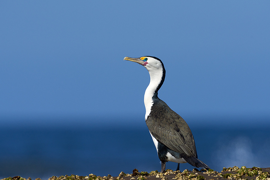 Australian Pied Cormorant | NIKON 400 F2.8E FL VR  <br> Click image for more details, Click <b>X</b> on top right of image to close