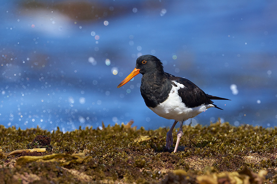 Pied Oyster-catcher | NIKON 400 F2.8E FL VR  <br> Click image for more details, Click <b>X</b> on top right of image to close