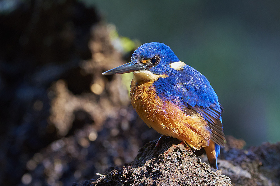 Azure Kingfisher | NIKON 400 F2.8E FL VR  <br> Click image for more details, Click <b>X</b> on top right of image to close