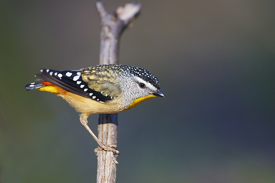 Spotted Pardalote | NIKON 500MM F/4G ED-IF AF-S VR N <br> Click image for more details, Click <b>X</b> on top right of image to close