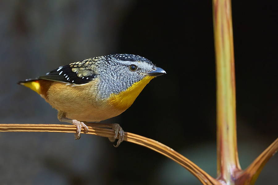 Spotted Pardalote | NIKON 400 F2.8E FL VR  <br> Click image for more details, Click <b>X</b> on top right of image to close