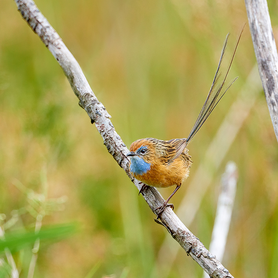 Southern Emu Wren | NIKON 400 F2.8E FL VR  <br> Click image for more details, Click <b>X</b> on top right of image to close