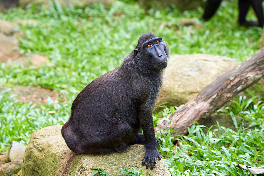 Celebes Crested Macaque | NIKON AF-S 80-400MM VRII <br> Click image for more details, Click <b>X</b> on top right of image to close