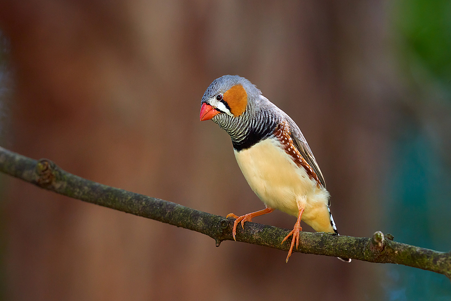 Zebra Finch |  NIKON 200-500 F5.6E ED VR <br> Click image for more details, Click <b>X</b> on top right of image to close