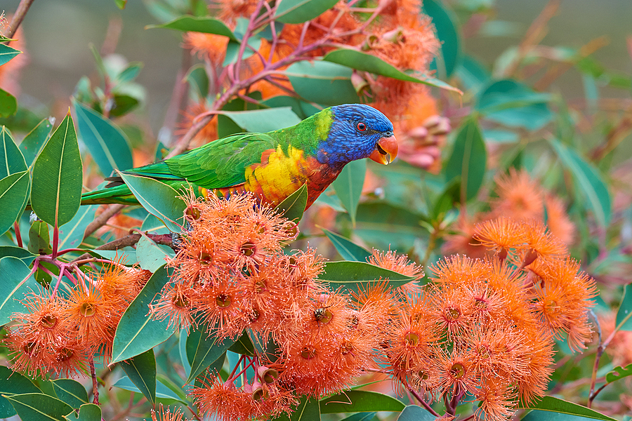 Rainbow Lorikeet in flowering gum |  NIKON 200-500 F5.6E ED VR <br> Click image for more details, Click <b>X</b> on top right of image to close