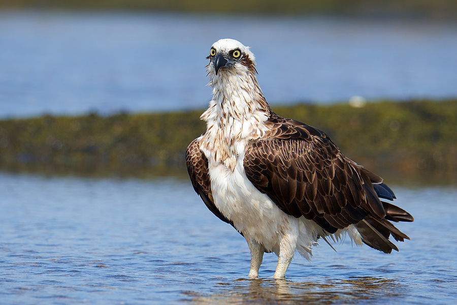 Osprey | LENS MODEL NOT SET <br> Click image for more details, Click <b>X</b> on top right of image to close