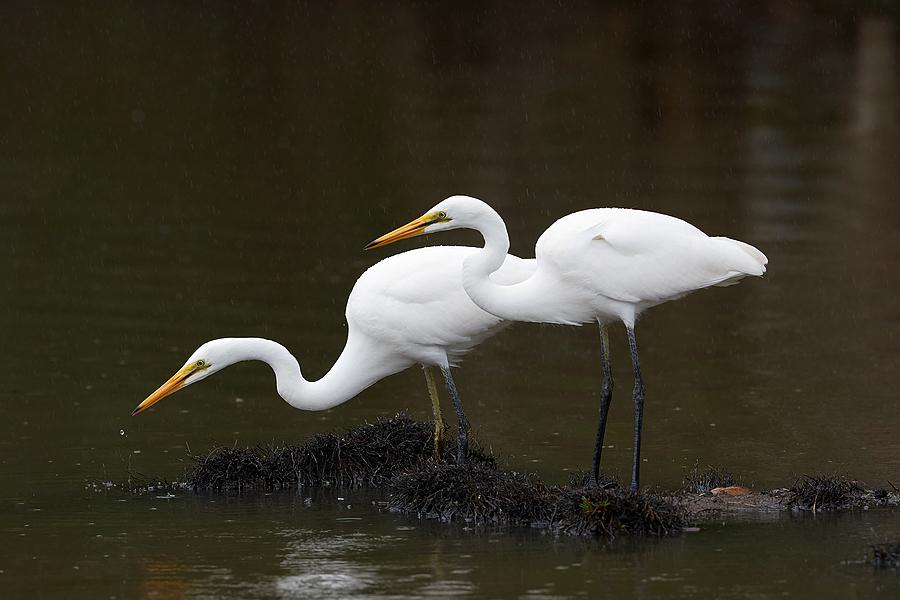 Great Egret pair. | NIKON 400 F2.8E FL VR  <br> Click image for more details, Click <b>X</b> on top right of image to close