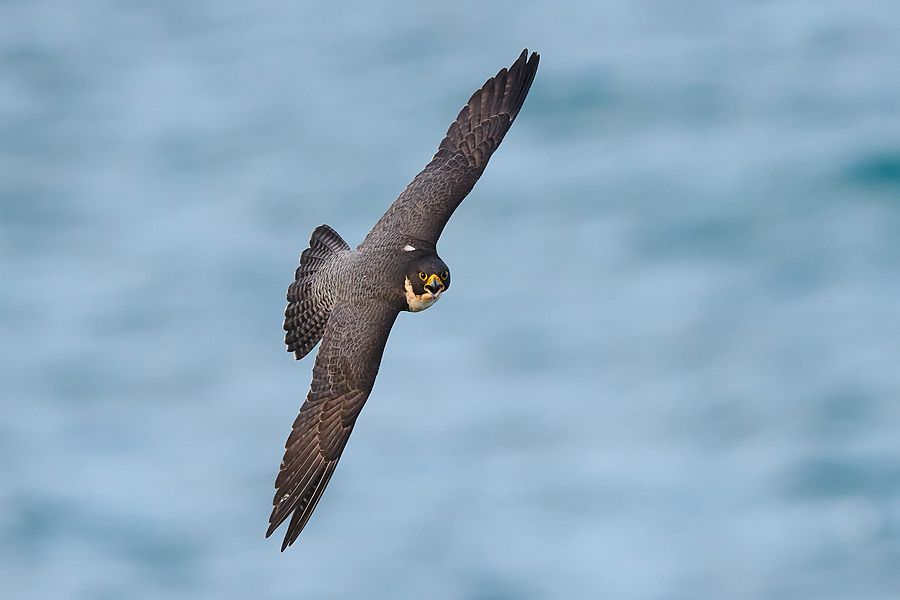 Peregrine Falcon | NIKON 400 F2.8E FL VR  <br> Click image for more details, Click <b>X</b> on top right of image to close