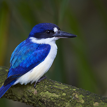 Forest Kingfisher | NIKON 300MM F/2.8G ED-IF AF-S VR N <br> Click image for more details, Click <b>X</b> on top right of image to close