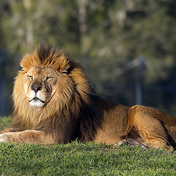 Lion | NIKON 300MM F/2.8G ED-IF AF-S VR N <br> Click image for more details, Click <b>X</b> on top right of image to close