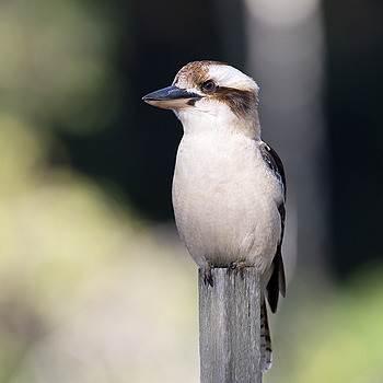 Laughing Kookaburra | NIKON 300MM F/2.8G ED-IF AF-S VR N <br> Click image for more details, Click <b>X</b> on top right of image to close