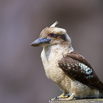 Laughing Kookaburra | NIKON 400 F2.8E FL VR  <br> Click image for more details, Click <b>X</b> on top right of image to close